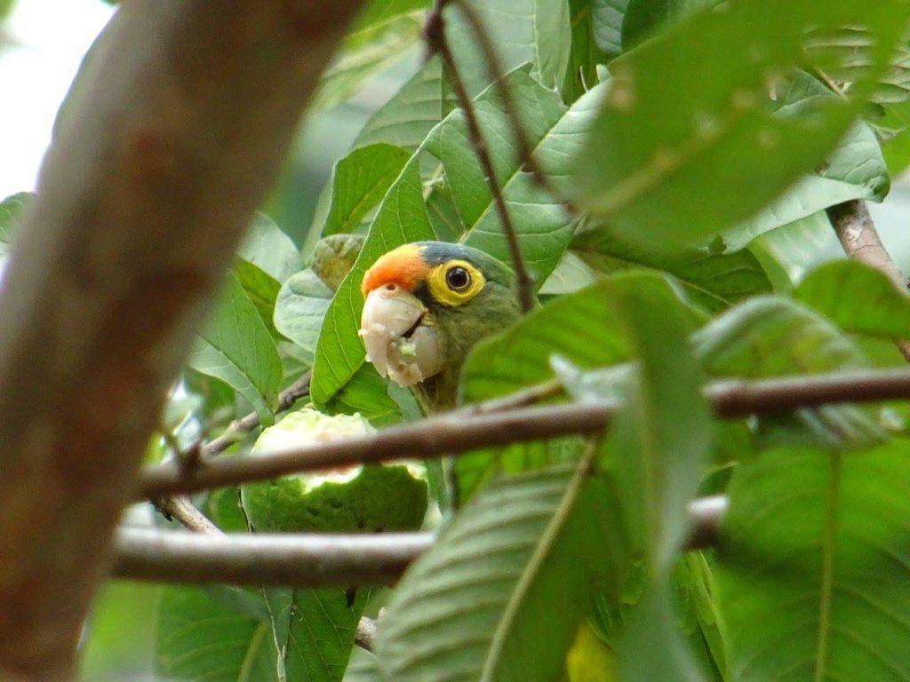 Perroquet dans la nature Samara Costa Rica